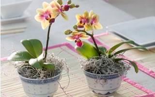 Орхидея мини уход в домашних условиях пересадка