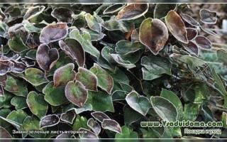 Вечнозеленые растения средней полосы России