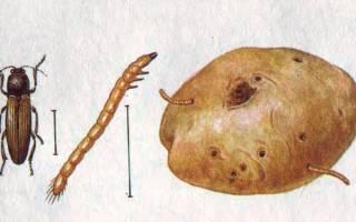 Жук-щелкун – как бороться с вредителем