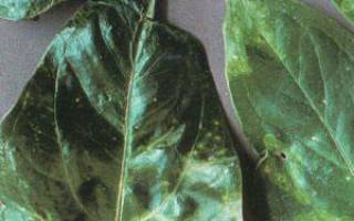 Цветок антуриум его болезни и как их устранить