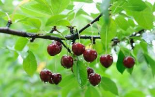 Подкормка вишни осенью – в чем нуждается дерево?