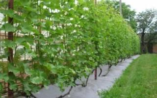 Как вырастить виноград на даче?