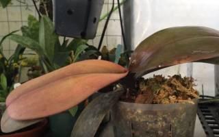 Краснеют листья у орхидеи