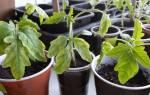 Почему желтеет рассада помидор: эффективные методы лечения
