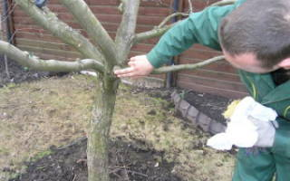 Подготовка вишни к зиме – все делаем по графику