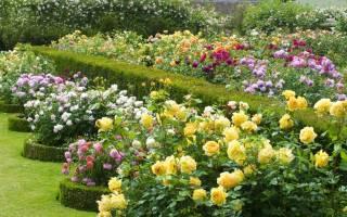 Розы – болезни и лечение в подробностях