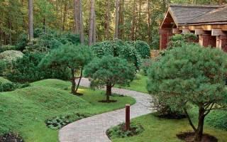 Хвойные деревья на дачном участке