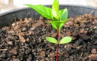 Как вырастить из косточки вишни дерево?
