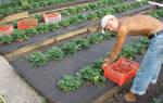 Выбор схемы посадки клубники