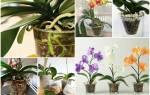 Орхидеи фаленопсис семена