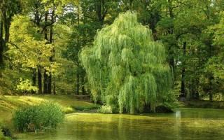Какие деревья быстро растут на даче?