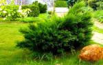 Как посадить лесной можжевельник на даче?