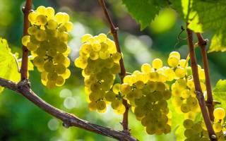 Формирование виноградной лозы в средней полосе