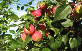 Как ухаживать за саженцем яблони?