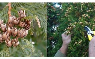 Как вырастить саженцы туи из семян?