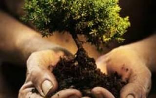 Как правильно посадить саженец дуба осенью?