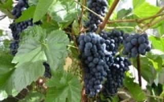 Агротехника винограда в Сибири