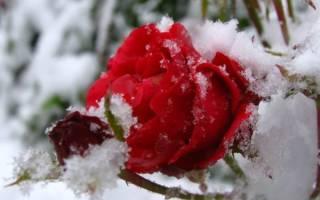 Зимовка роз в Сибири