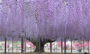 Как сформировать из глицинии дерево?