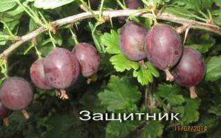 Лучшие сорта крыжовника для Сибири