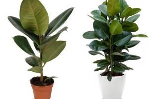 Как выращивать фикус