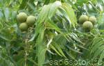 Какие орехи растут в средней полосе России?
