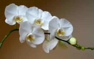 Сколько лет живет орхидея фаленопсис в домашних условиях