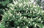 Каштан – посадка и уход, выращиваем здоровое дерево