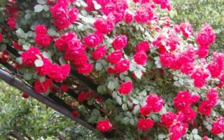Морозостойкие сорта роз для Сибири