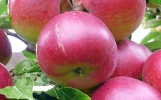 Как выращивать саженцы плодовых деревьев?