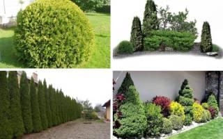 Туи в ландшафтном дизайне – украшение вашего сада