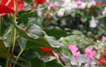 Антуриум как заставить цвести