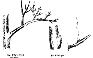 Обрезка плодовых деревьев в Сибири осенью