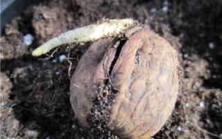 Как из грецкого ореха посадить дерево?