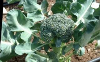 Как вырастить капусту брокколи на даче?