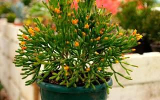 Комнатный цветок палочник