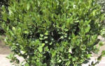 Как вырастить лавровый лист на даче?