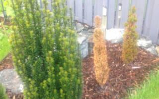 Как посадить тую осенью на даче?