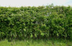 Живая изгородь из боярышника – изгородь-долгожитель