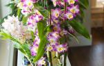 Разновидности орхидей дендробиум как ухаживать