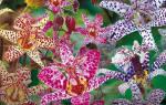 Садовая орхидея трициртис посадка и уход