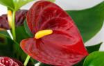 Антуриум что означает этот цветок