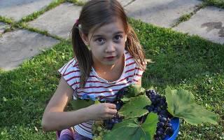 Неукрывные сорта винограда для средней полосы России