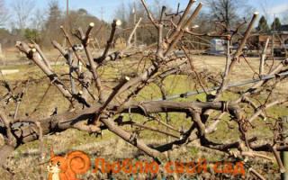 Подготовка винограда к зиме в средней полосе