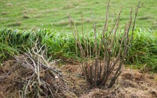 Как укрыть саженцы смородины на зиму?