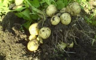 Урожайные сорта картофеля для средней полосы России
