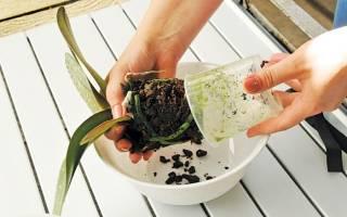 Пересадка орхидеи фаленопсис в домашних