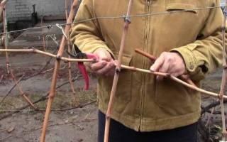 Как хранить саженцы винограда зимой до посадки?