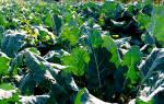Брокколи выращивание в открытом грунте в Сибири