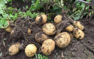 Характеристика сорта картофеля Адретта